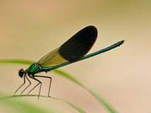Damselfly on a leaf Stock Images