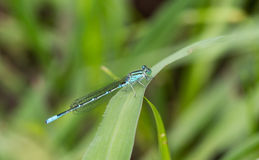 Damselfly on leaf Stock Photo