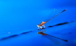 Damselfly on leave just below royalty free stock photography