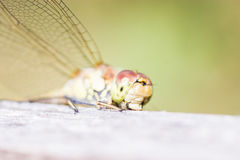 Damselfly, Lestidae Images stock