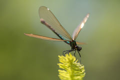Damselfly Lestidae Royaltyfria Foton