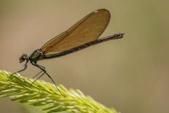 Damselfly, Lestidae Images libres de droits