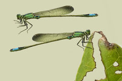 Damselfly on light green isolated Stock Images