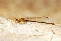 Damselfly Lighting on Rock Royalty Free Stock Photos