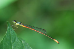 Damselfly macro Stock Photo