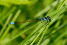 Damselfly macro Royalty Free Stock Photography