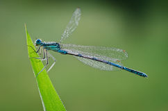 Damselfly. Macro of a colorful damselfly Royalty Free Stock Photos