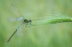 Damselfly Royalty Free Stock Photos