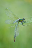 Damselfly Stock Photo