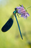 Damselfly. Macro of a colorful damselfly Royalty Free Stock Images