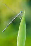 Damselfly. Macro of a colorful damselfly Stock Photography