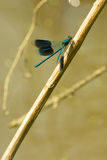 Damselfly. Dragonfly at morning ,with water drops stock photography