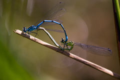Damselfly making love. Dragonfly at morning ,with water drops royalty free stock photo