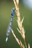 Damselfly Stock Photography