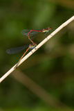 Damselfly making love. In nature stock photography
