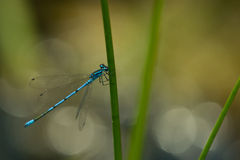 Damselfly. At morning ,with water drops stock photo
