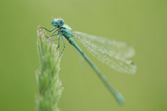 Damselfly in macro. Damselfly at morning ,with water drops stock images