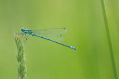 Damselfly. At morning ,with water drops royalty free stock image