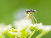 Damselfly. Macro photo of damselfly insect stock image