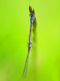 Damselfly. Macro photo of damselfly insect Royalty Free Stock Photography