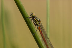 Damselfly. In macro ,resting in the sun royalty free stock photos