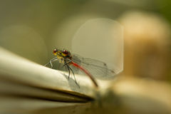 Damselfly. In macro ,resting in the sun royalty free stock images