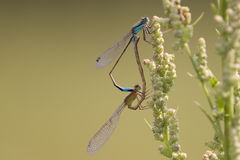 Damselfly making love. Damselfly resting in the sun and making love stock photos