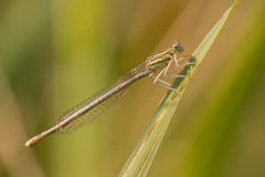 Damselfly in macro. Damselfly resting in the sun and making love stock photos
