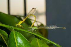 Damselfly Pair. Damselfly Male and Female before mating stock image