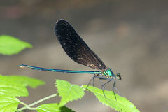 Damselfly. The a male damselfly(Scientific name: Mnais mneme) on leaf Royalty Free Stock Photo
