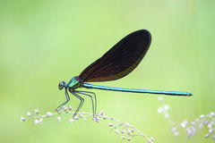 Damselfly. A male damselfly stands on grass. Scientific name: Mnais mneme Stock Photo