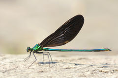 Damselfly. A male damselfly stands on ground. Scientific name: Mnais mneme Royalty Free Stock Photography