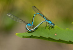 Damselfly mating Royalty Free Stock Image