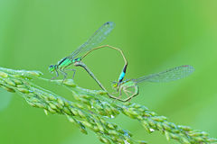Damselfly mating. With heart shape stock photography