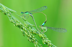 Damselfly mating. With heart shape stock photo