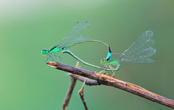 Damselfly mating. With clean background royalty free stock photography