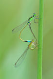 Damselfly mating. With heart shape stock images