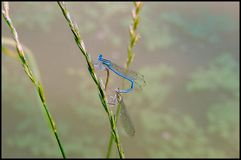 Damselfly mating royalty free stock images