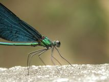 Damselfly(Matrona basllaris) Royalty Free Stock Photo