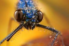 damselfly med droppar i dess naturliga miljö Arkivbild