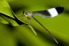 Damselfly mix with green color Royalty Free Stock Image