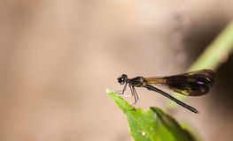 Damselfly in the nature. Aristocypha fenestrella rambur ,Damselfly in the nature Stock Photo
