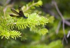 Damselfly Negro-con alas (maculata de Calopteryx) Imagen de archivo libre de regalías