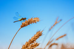 Free Damselfly On Wheat Ear Royalty Free Stock Photo - 28093805