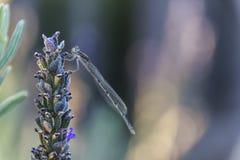 Damselfly op Lavendel Stock Afbeeldingen