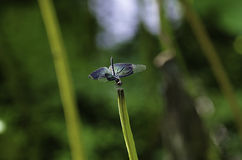 Damselfly på en stam av lotusblomma Royaltyfri Bild