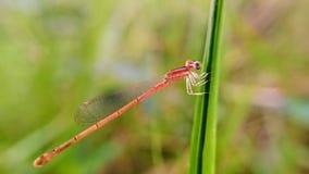 Damselfly på gräsmakrofotografi close upp fotografering för bildbyråer