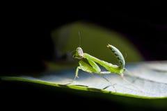 Damselfly på leafen arkivfoto