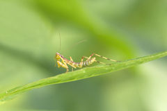 Damselfly på leafen fotografering för bildbyråer