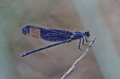 Damselfly púrpura del ala Fotos de archivo libres de regalías